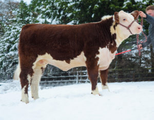 UK record price for a Hereford female